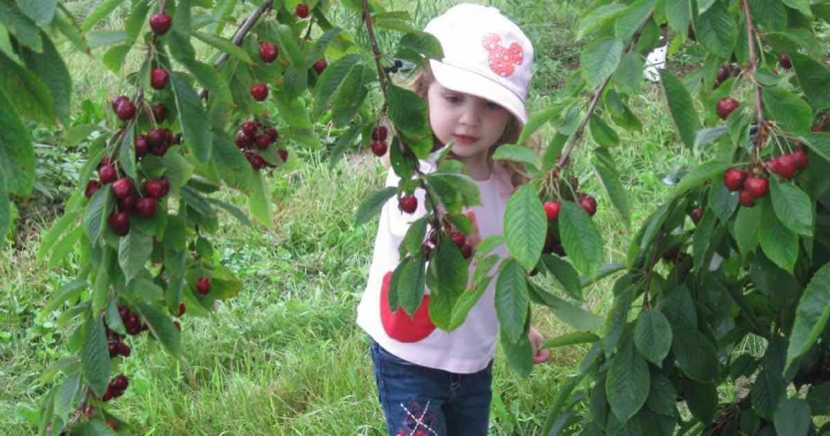 Ann Arbor Cherry Picking - Spicer Orchards in 2009