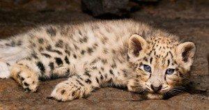 Born in China - Dawa's Cub