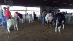 4-H County Fair - Cows