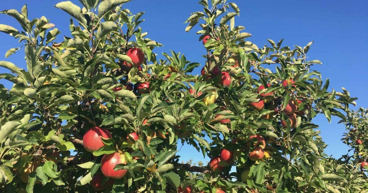 Apple Picking at Wasem Fruit Farm