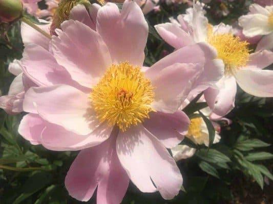 Arb Peony Garden - Blush Pink Peony