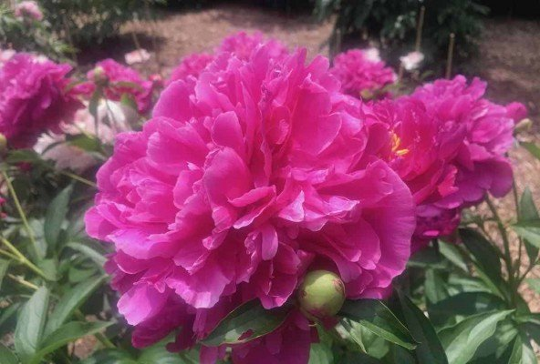 Arb Peony Garden - Magenta with Buds
