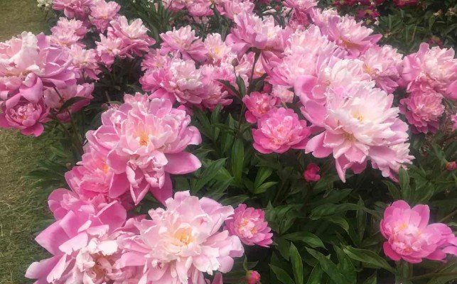 Arb Peony Garden - Pink Peonies