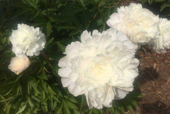 Arb Peony Garden - White Peonies